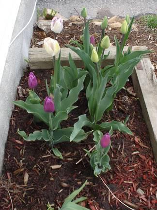 Tulipe Shirley Tulipes030505