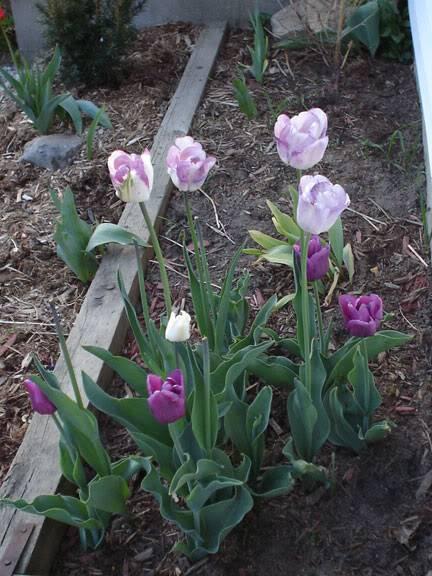 Tulipe Shirley TulipesShirleyEtPassionale