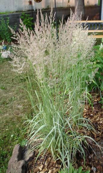 Quels sont vos coups de coeur cette année CalamagrostisAcutifloraOver