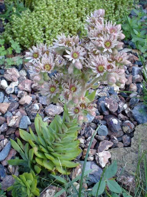 Quelques vivaces aujourd'hui Sempervivum-x-Braunii0707