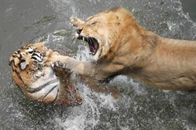BUỒN... Liontiger_zps5c0898af