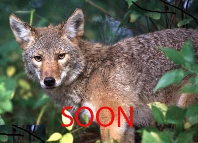 Coming...                  KenyonLIF-05038Coyote-23439-7