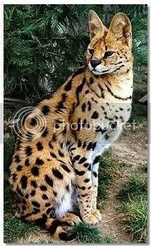 Pet Demonds Profiles Serval