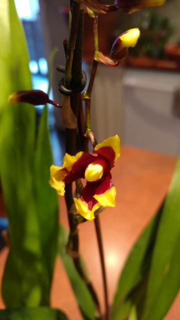 Orchidées chez lavandula - Page 4 IMG_20170327_183327206_zpsifftbmxr