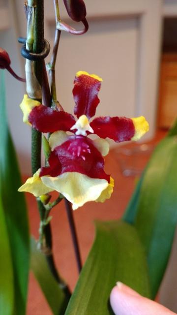 Orchidées chez lavandula - Page 5 IMG_20170329_080633662_zpsxfc6kgli
