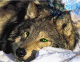 Brayden Caine*Hybrid Wolfgreeneyes