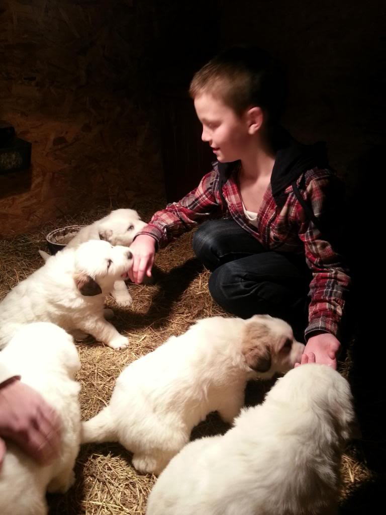 11-week-old Great Pyrenees pups for sale - BC Pups1_zps5f7cf6bb