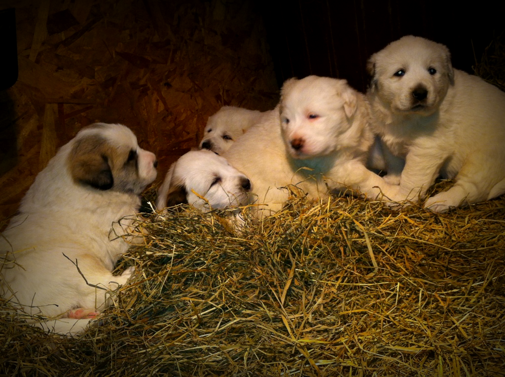 11-week-old Great Pyrenees pups for sale - BC Pups2_zps7dbc757a