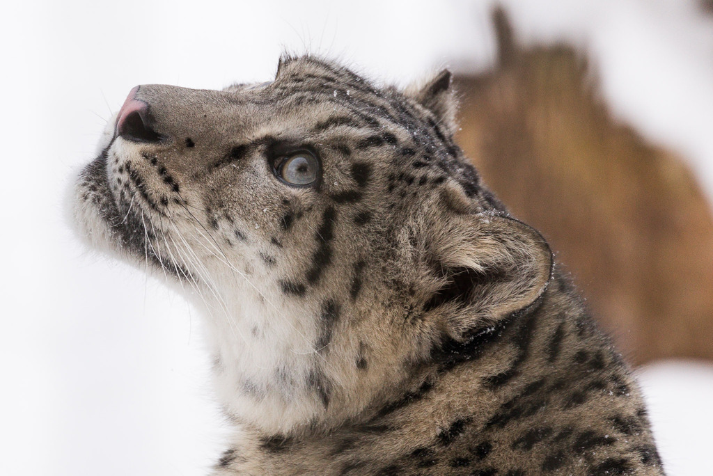 Snow Leopards - Page 12 20160122-142556-IMG_1745_zpsifeugifx