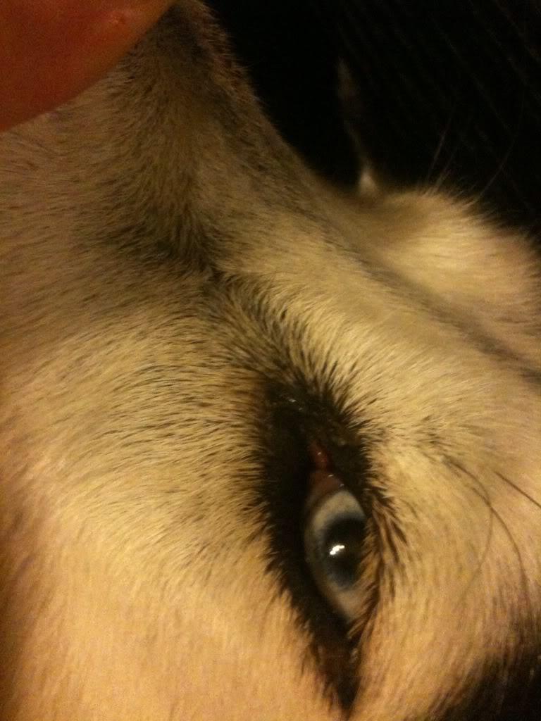 "Possible ""hot spot"" on snout & strange growth near eye (adopted 3yr husky) D7AB476A-9853-4EA9-A836-79325D3714A5-825-000000A8C5F060E9"