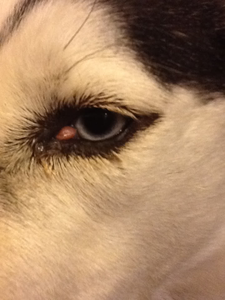 """Possible """"hot spot"""" on snout & strange growth near eye (adopted 3yr husky) Image_1348542282792317"""