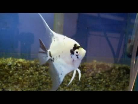 koi Paraiba Angelfish Snapshot3030-11-201117-352-1