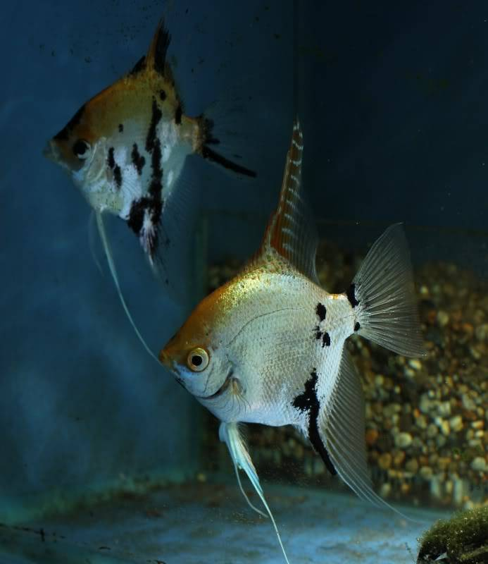 The British Cichlid Assosiation Convention and Auction is nearly here! Some lot images!!! IMG_2950693x800693x800