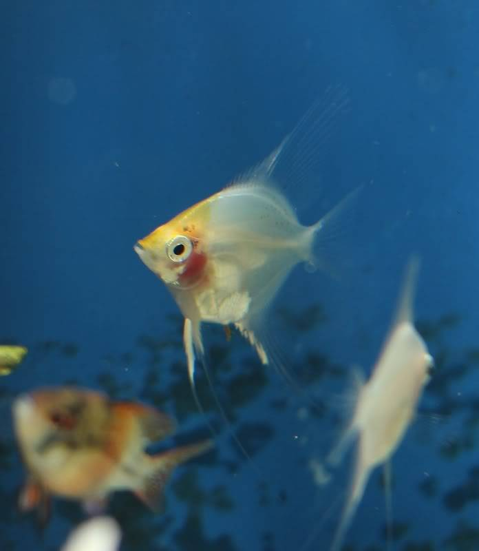 The British Cichlid Assosiation Convention and Auction is nearly here! Some lot images!!! IMG_3023696x800