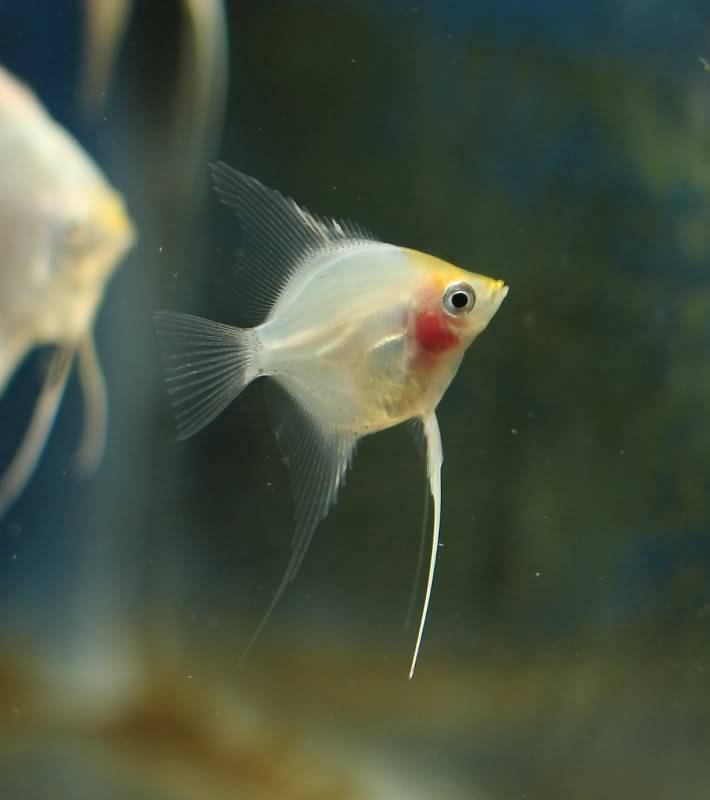 The British Cichlid Assosiation Convention and Auction is nearly here! Some lot images!!! IMG_3037710x800