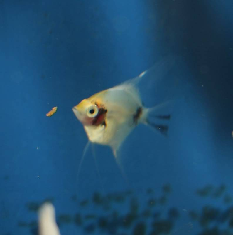 The British Cichlid Assosiation Convention and Auction is nearly here! Some lot images!!! IMG_3040794x800