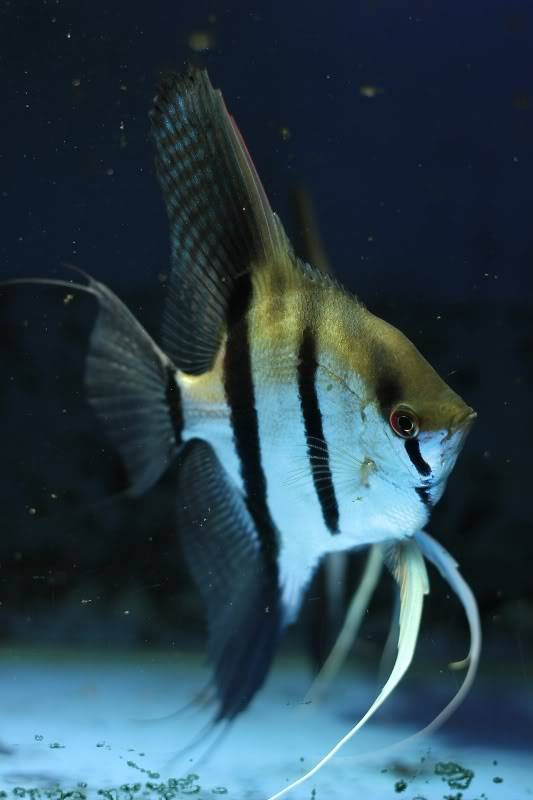 The British Cichlid Assosiation Convention and Auction is nearly here! Some lot images!!! IMG_3056533x800