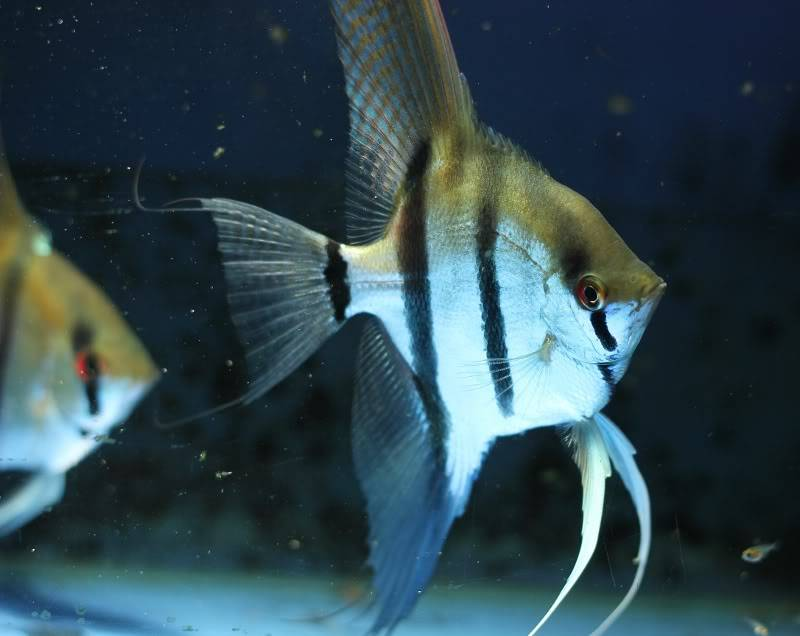 The British Cichlid Assosiation Convention and Auction is nearly here! Some lot images!!! IMG_3060800x636