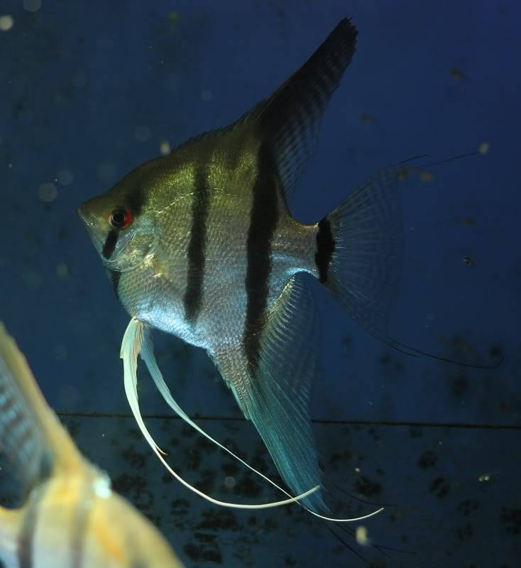 The British Cichlid Assosiation Convention and Auction is nearly here! Some lot images!!! IMG_3067734x800