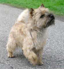 Cairn terrier CarinTerrierPic
