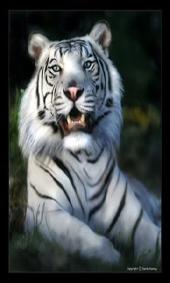Wallpapers WhiteTiger3