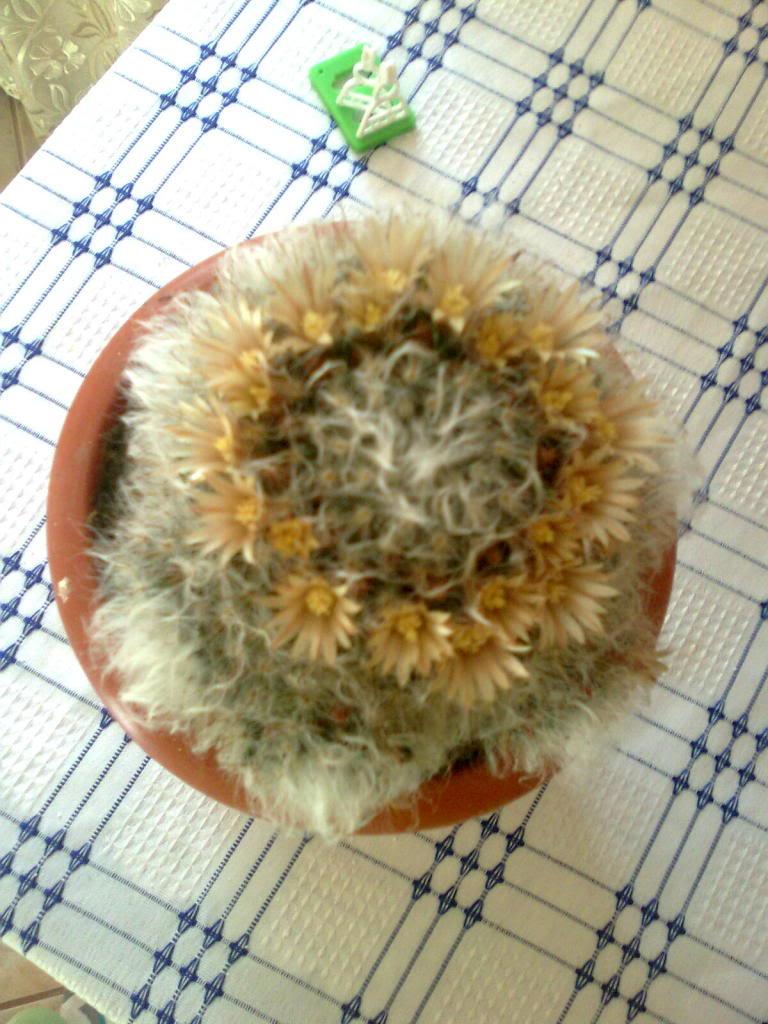 cactusii de toate felurile(ingrijirea si inmultirea lor) !!!!!! Imagine0874