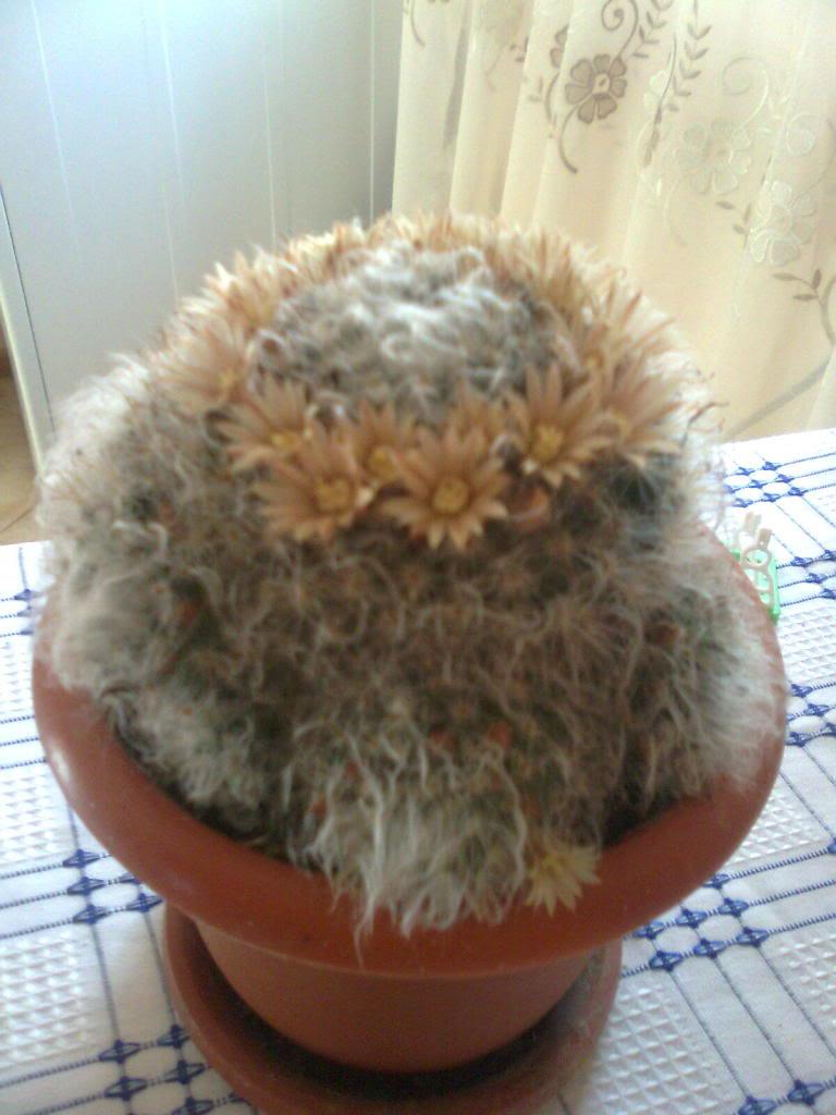 cactusii de toate felurile(ingrijirea si inmultirea lor) !!!!!! Imagine0876