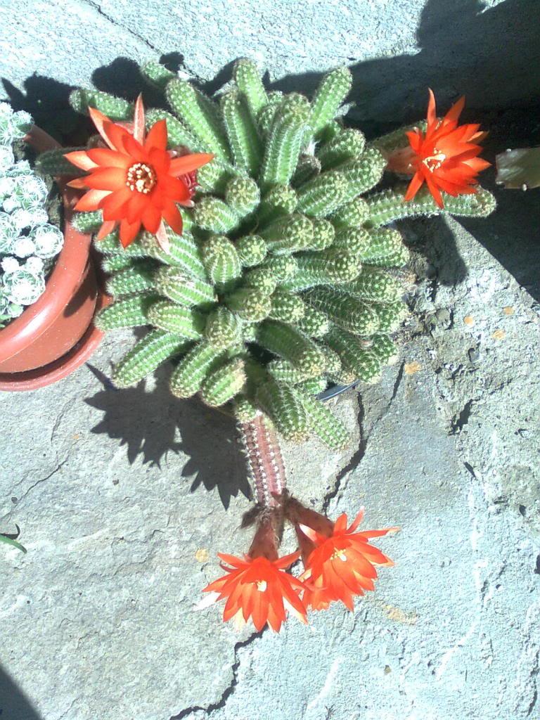 cactusii de toate felurile(ingrijirea si inmultirea lor) !!!!!! Imagine0979-1