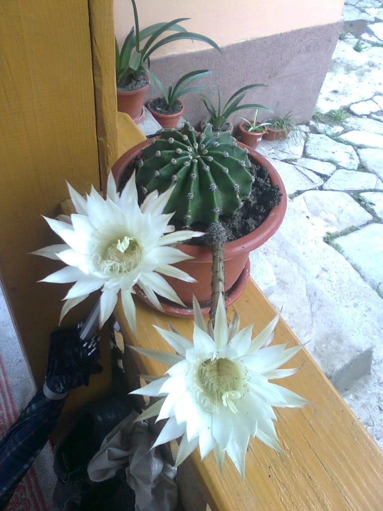 cactusii de toate felurile(ingrijirea si inmultirea lor) !!!!!! Imagine0986