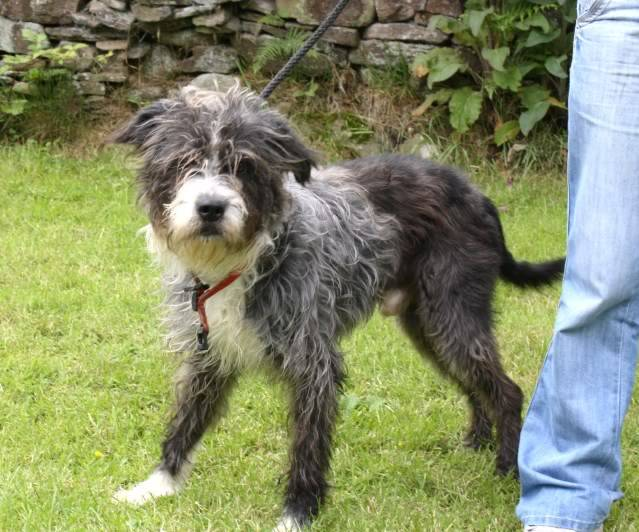 Pip 5 year old  male Beardie Collie x fostered by Four Paws Animal Rescue (South Wales) FourPaws026-1
