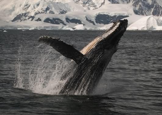 Le film Earth en photos Baleine_earth-1