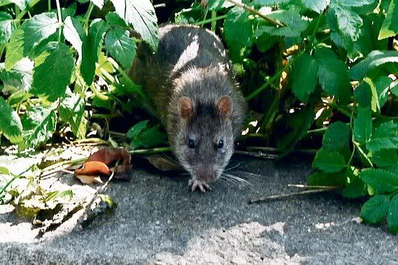 Des rats dans le Jardin Saint-Roch! 197035-ville-quebec-courant-presence-rats