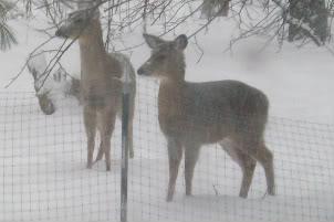 Winter photos More_deer3