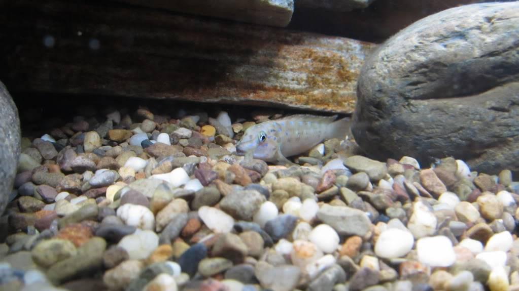 Eretmodus cyanostictus Zambian Blue Spot - Page 2 Xmasandfish189