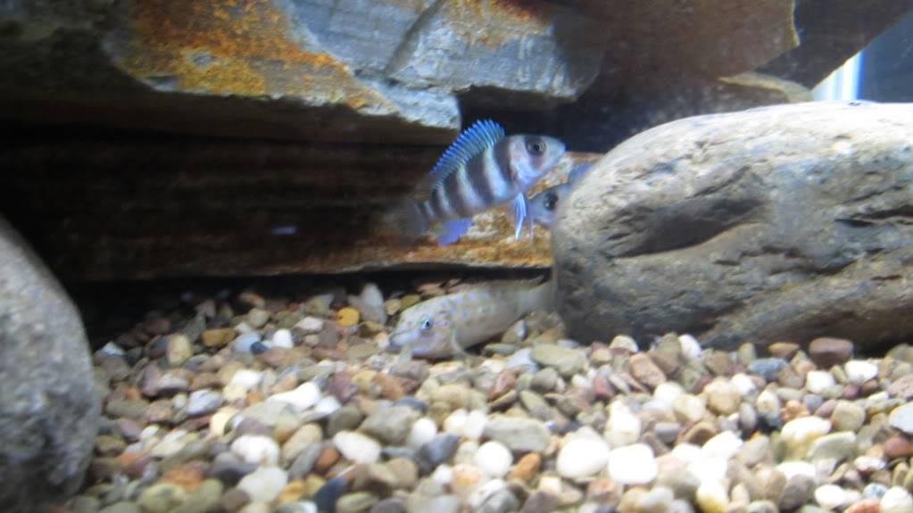 Eretmodus cyanostictus Zambian Blue Spot - Page 2 Xmasandfish190