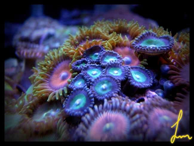 For Purpelskyz Purplerimgreencentrewhitemouthzoas
