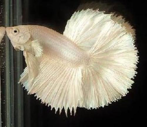Les Poissons d'Aquarium fabriqués 1197868330_f