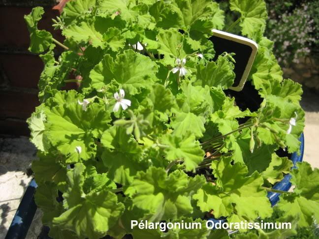 pelargonium odoratissimum ? Je pense. P