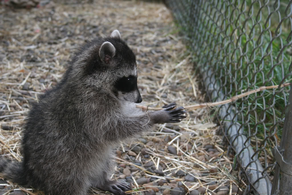 Whats Your Favorite Animal ? Raccoons03