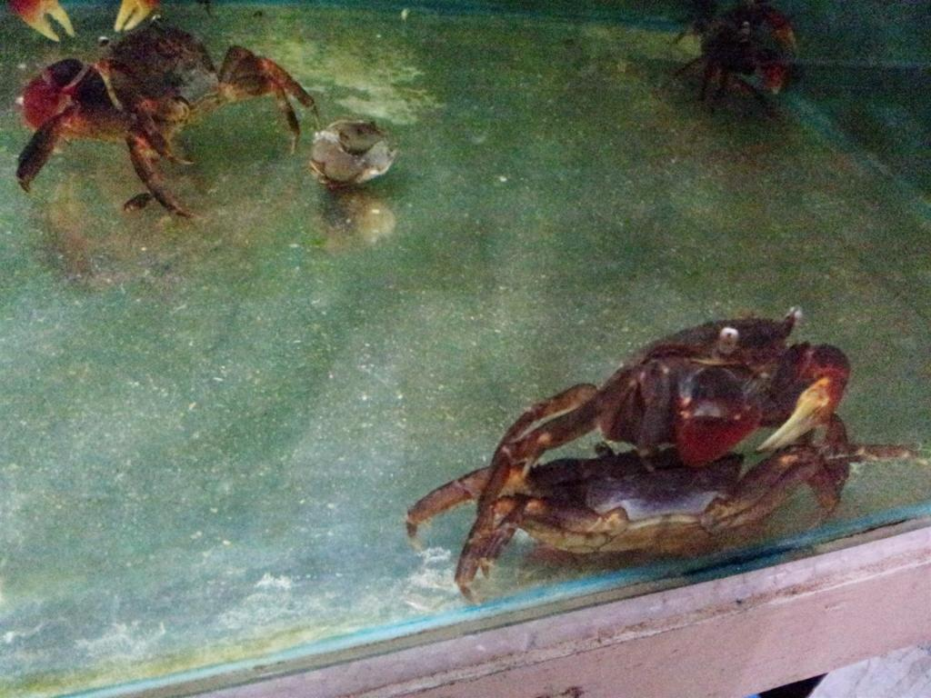 What are these crabs exactly? ChiliRedCrab1