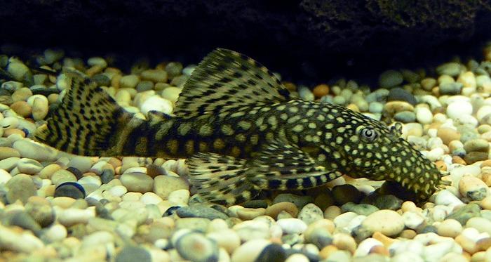 male ou femelle ancistrus  MaleAncistrus