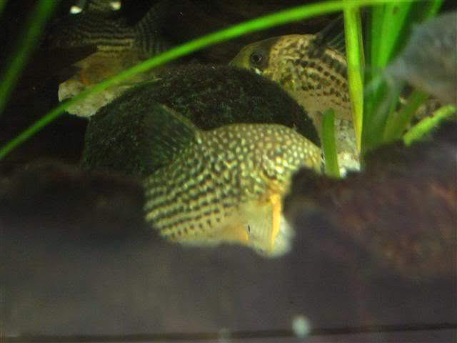 Introduction Aquariums OricaGuapore