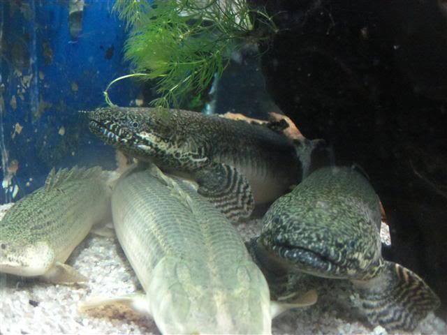 Introduction Aquariums OrphalusNate