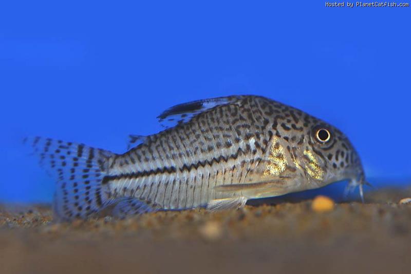 male ou femelle corydoras?? Planetcatfish-CorydorasFemaletrilineatus17thphoto