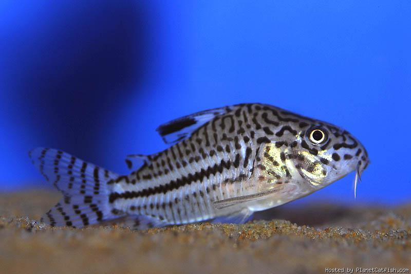 male ou femelle corydoras?? Planetcatfish-Corydorasmaletrilineatus18thphoto