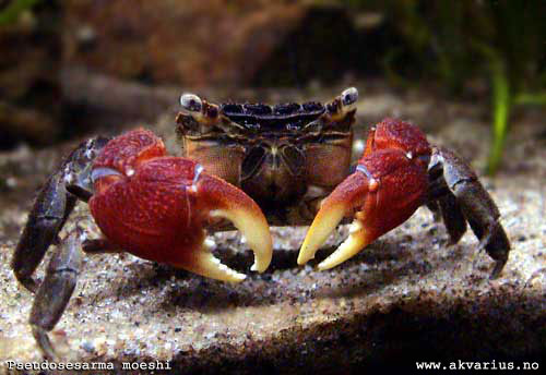 What are these crabs exactly? Pseudosesarmamoeshiakvaforum