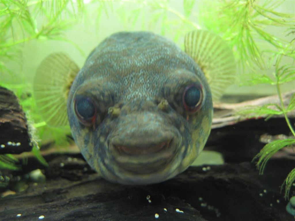 Identification tetraodon Samaratungga2