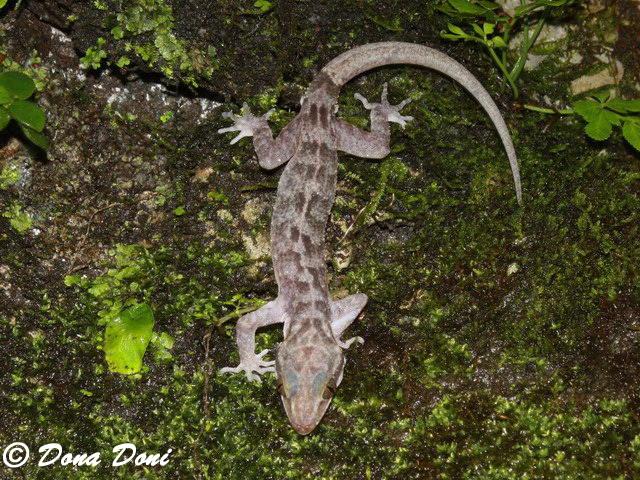 Ciliwung and Cisadane River, Indonesia in a Brink of Destruction Cyrtodactylusmarmoratus