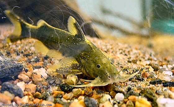 Ciliwung and Cisadane River, Indonesia in a Brink of Destruction GlyptothoraxplatypohonC-PlanetCatfish