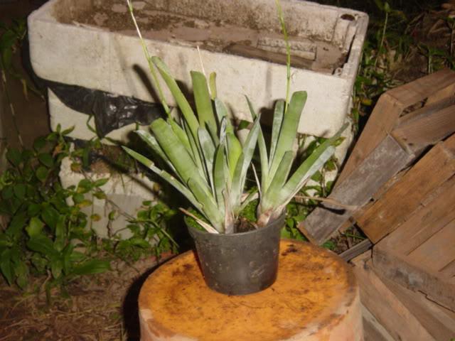 Some rare plants (Cobra, Drosop, Styl,...) DSC00079